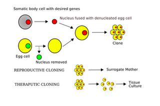 FREE Cloning and Stem Cell Research Essay